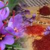 Lo zafferano – l'oro rosso di Sardegna