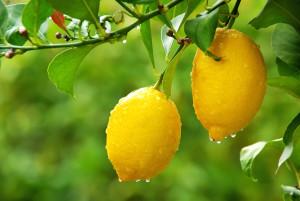 albero-limone
