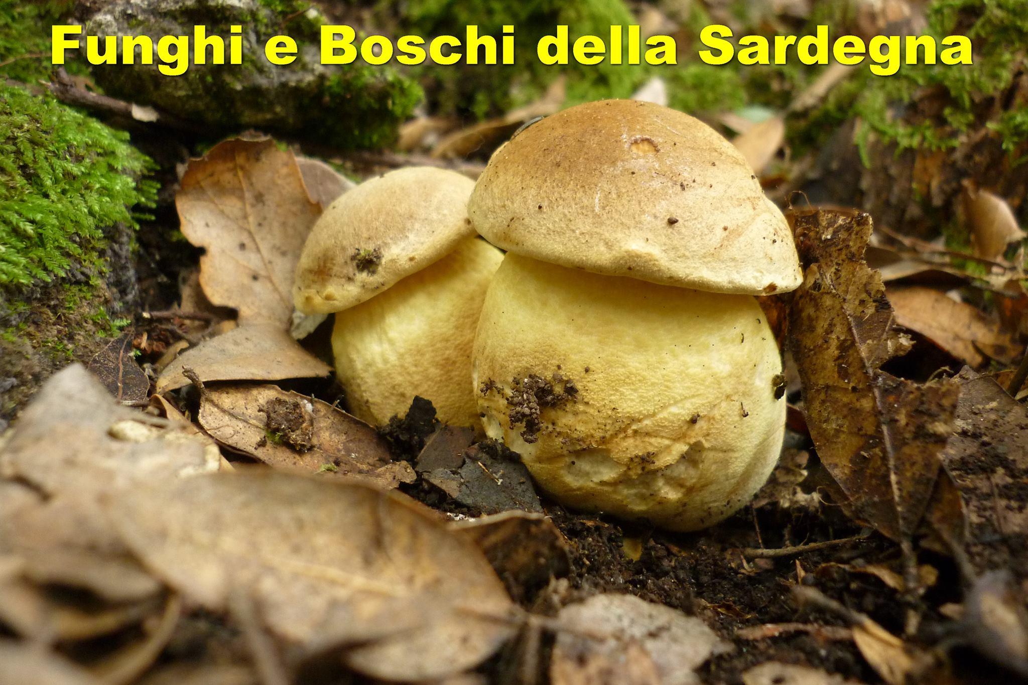 Funghi di Sardegna: Oggi in compagnia dell' Hydnum rufescens.