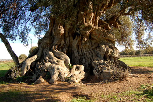 Villamassargia Sagra delle olive
